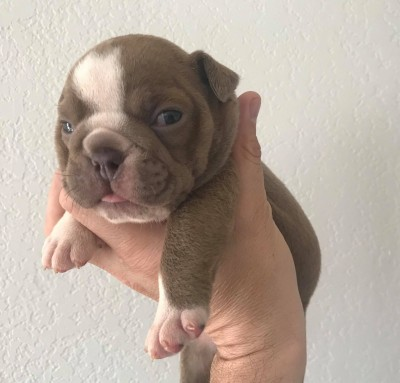 blue tri french bulldog